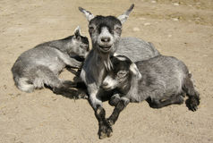 Happy Mother and Cubs. Happy goat mother feeding and caring for her two cubs stock photography