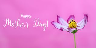 Happy Mothers`s Day! and pink wild cosmos flower macro photo as wide banner pink background and message text. Happy Mother Day. Happy Mothers`s Day! and pink royalty free stock images