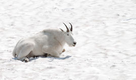 Happy mountain goat Stock Images