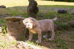 Neapolitan Mastiff Expressive Puppy. Neapolitan Mastiff Puppy Looking Straight Into The Camera Royalty Free Stock Photo