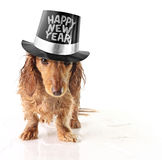 Happy new year. Soaking wet puppy wearing a Happy New Year hat stock photos