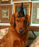 Happy new year from buster. Golden retriever with a party hat on Stock Photos