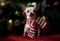 Happy New Year 2018 chihuahua puppy in hat Christmas snow Royalty Free Stock Image