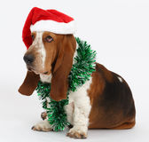 Happy New Year, Christmas Basset hound sitting, isolated Royalty Free Stock Photography