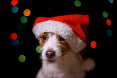 Happy New Year, Christmas, Dog in Santa Claus hat. Jack Russell Terrier. holidays and celebration Stock Photos