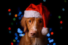 Happy New Year, Christmas, Dog in Santa Claus hat. Nova Scotia Duck Tolling Retriever. holidays and celebration Royalty Free Stock Photos