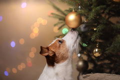 Happy New Year, Christmas, Jack Russell Terrier. holidays and celebration royalty free stock images