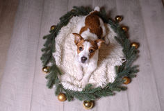 Happy New Year, Christmas, Jack Russell Terrier. holidays and celebration, pet in the room Stock Images
