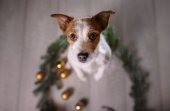 Happy New Year, Christmas, Jack Russell Terrier. holidays and celebration, pet in the room Stock Photo