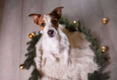 Happy New Year, Christmas, Jack Russell Terrier. holidays and celebration, pet in the room Stock Photography