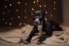 Happy New Year, Christmas, pet in the room. Pit bull dog, holidays and celebration Stock Images