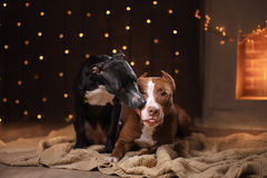 Happy New Year, Christmas, pet in the room. Pit bull dog, holidays and celebration Royalty Free Stock Image