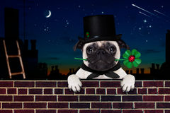 Happy new year dog celberation. Pug dog as chimney sweeper with four leaf clover  behind wall banner or placard, celebrating and toasting for new years eve Royalty Free Stock Photos