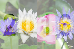 Happy New Year 2016 in Lotus Flower Theme Royalty Free Stock Photos