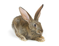 Happy New Year of rabbit Stock Images