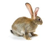 Happy New Year of rabbit Stock Photos