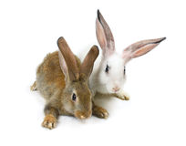 Happy New Year of rabbit Stock Image