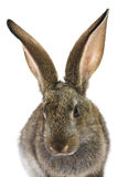 Happy New Year of rabbit Royalty Free Stock Photo