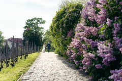 The happy newlywed couple is holding hands while walking along the pavements near the liliac bushes. Prague location. Stock Images