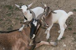 Happy nigerian dwarf goats. Family of happy nigerian dwarf goats royalty free stock photos