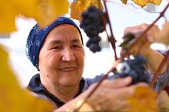 Happy Old Lady Picking Grapes