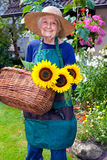 Happy Old Woman with Basket Harvesting Sunflowers Stock Photos