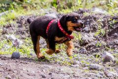 Happy One Month Puppy Rottweiler Running In Nature Stock Photo