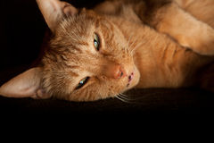 Happy Orange Cat. Orange housecat lying on his side. Image orientation is horizontal and there is copy space Royalty Free Stock Photo