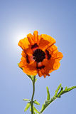 Happy Orange Poppy Flower with Sunshine Royalty Free Stock Images