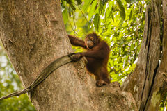 Happy Orangutan in Giant Tree,Closer View Stock Photo