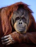 Happy Orangutan. A Happy Orangutan smiling for the photo stock photo