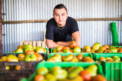 Happy organic farmer with tomatoes boxes posing with harvest in royalty free stock image