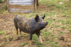 Happy organic pig Royalty Free Stock Photo