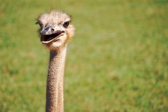 Happy Ostrich. Close up of a happy looking ostrich on a grassy background on a bright sunny day Royalty Free Stock Image