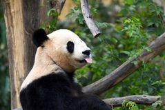Happy panda. Giant Panda with his tongue sticking out Stock Photo