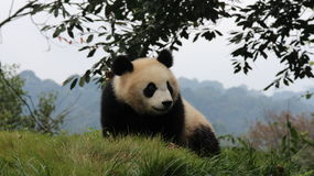 Happy Panda Royalty Free Stock Images