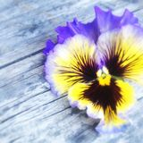 Happy  pansy face. Flowering sweet  marvels Stock Photography