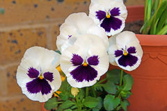 Happy pansy flowers Royalty Free Stock Photography