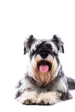Happy panting schnauzer Stock Photography