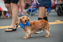 Happy parade dog in costume on July 4th. Patriotic Dachshund dog walking on street parade with stars and stripes bow tie around neck Stock Photography