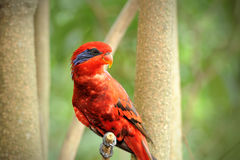 Happy parrot. In Singapore Zoo Stock Photography