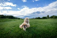 Happy Pekingese Dog on Green Lawn stock photography