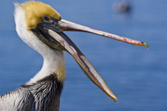 Happy pelican royalty free stock photos