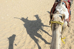 Happy person on a camel. Shadow on the desert of a happy person riding a camel with their arms in the air stock photography