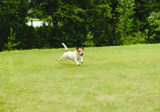 Happy pet dog playing at back yard green grass lawn Stock Images