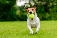 Happy pet dog playing with ball on green grass lawn Stock Photos