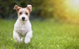 Happy pet dog puppy running in the grass. Happy jack russell pet dog puppy running in the grass - background, banner with copy space royalty free stock images