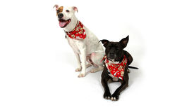Happy Pets. Happy dogs making funny faces on white background. Two Dogs, one white and one black royalty free stock images