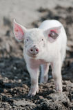 Happy pig. Young happy baby pig with ear tag on a farm smiling towards the camera Stock Images