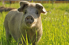 Happy pig Royalty Free Stock Image